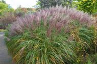 Red Maiden Grass 15 Seeds, Miscanthus Sinensis, Plume Grass